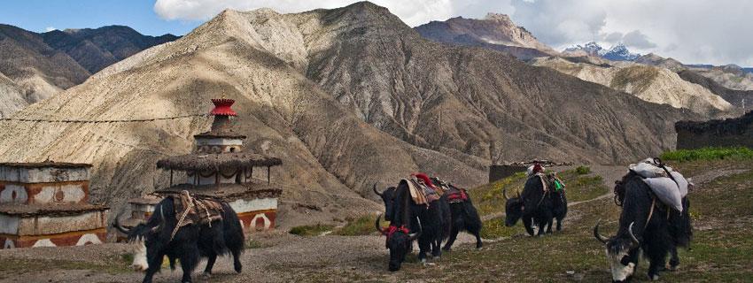 yaks in Upper dolpo